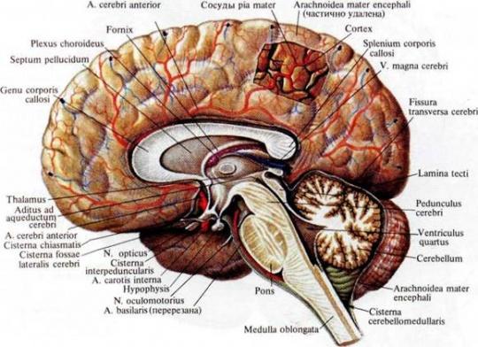 Атлас Головного Мозга Скачать