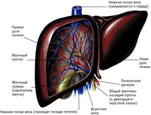 Донорские клетки заменят пересадку печени