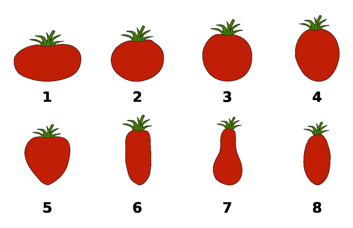 виды помидоров рисунок