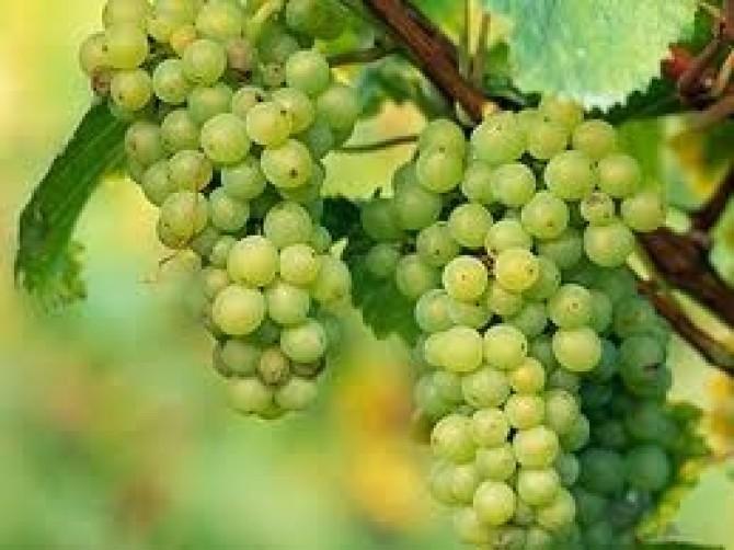 Виноград, продажа саженцев и черенков, купить саженцы винограда, купить черенки винограда,саженцы винограда