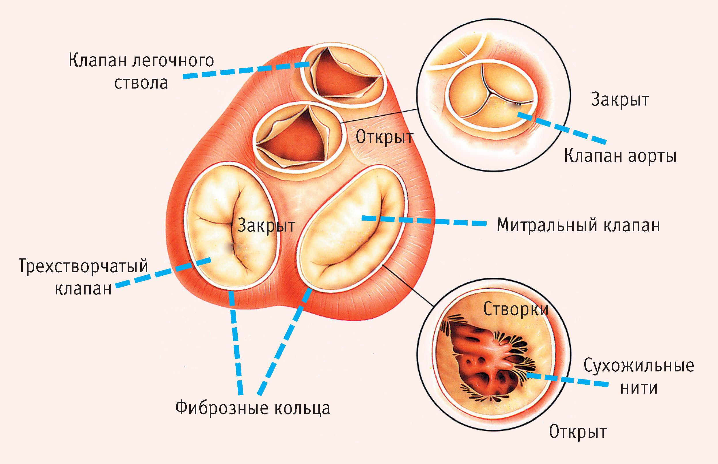 Значимость нормы гормона кальцитонина у женщин и мужчин