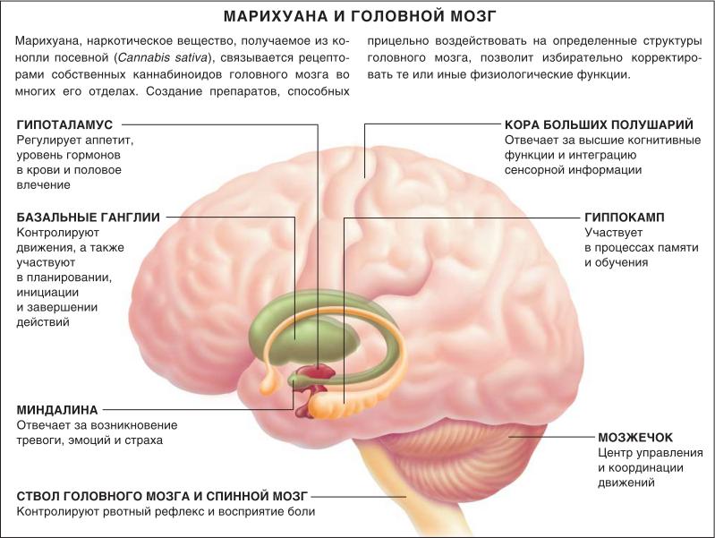 Эффект марихуаны на головной мозг