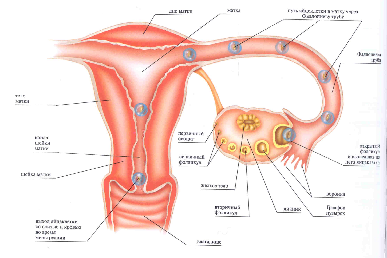 Идут ли месячные на первом месяце беременности